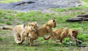 lion-cubs_1627577i